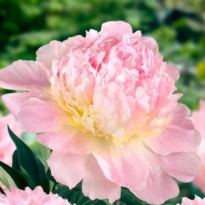 paeonia-ld-raspberry-sundae