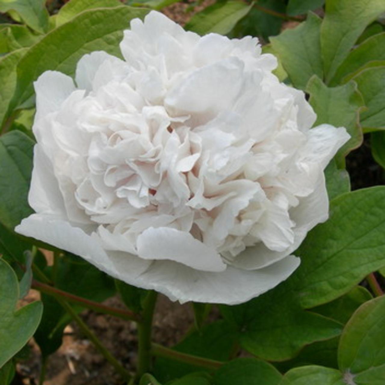 Paeonia suffruticosa 'Bai Xue Ta' plant