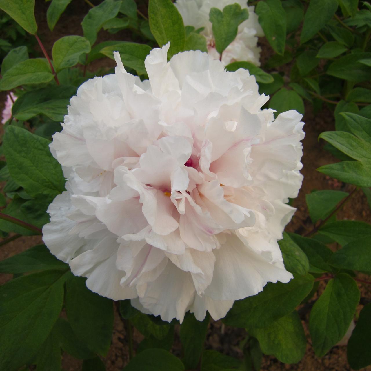 Paeonia suffruticosa 'Juan Ye Hong' plant