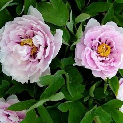 paeonia-suffruticosa-lan-bao-shi