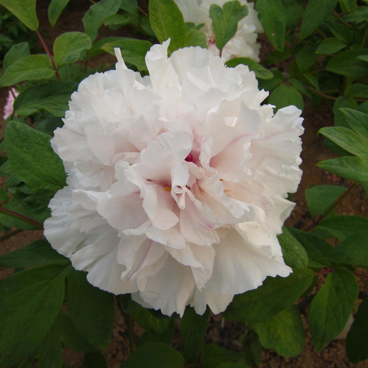 Paeonia suffruticosa 'Sai xue Ta' plant