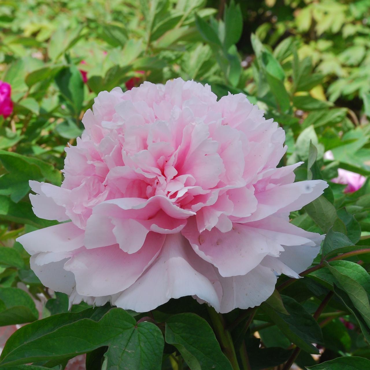 Paeonia suffruticosa 'Zao Feng' plant