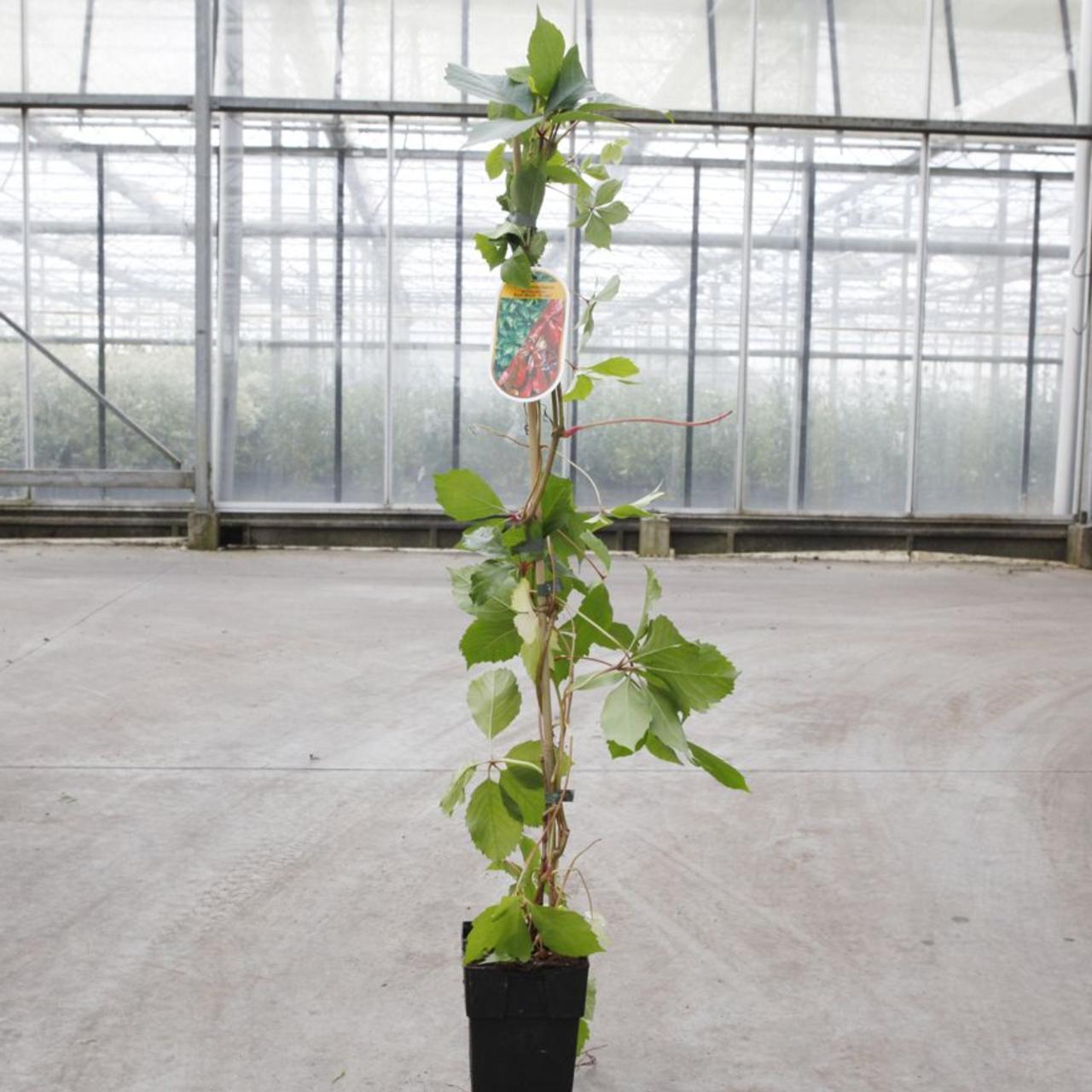 Parthenocissus quinquefolia 'Red Wall' plant