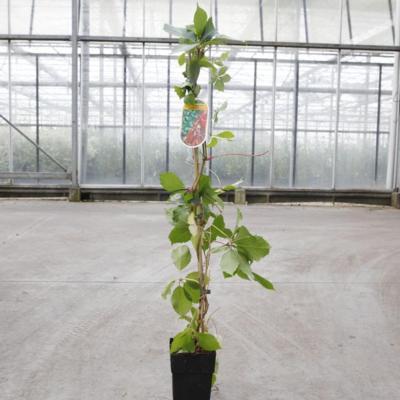 parthenocissus-quinquefolia-red-wall