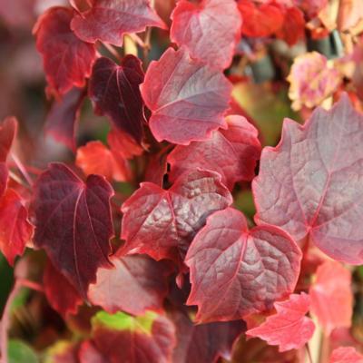 parthenocissus-tricuspidata-veitchii