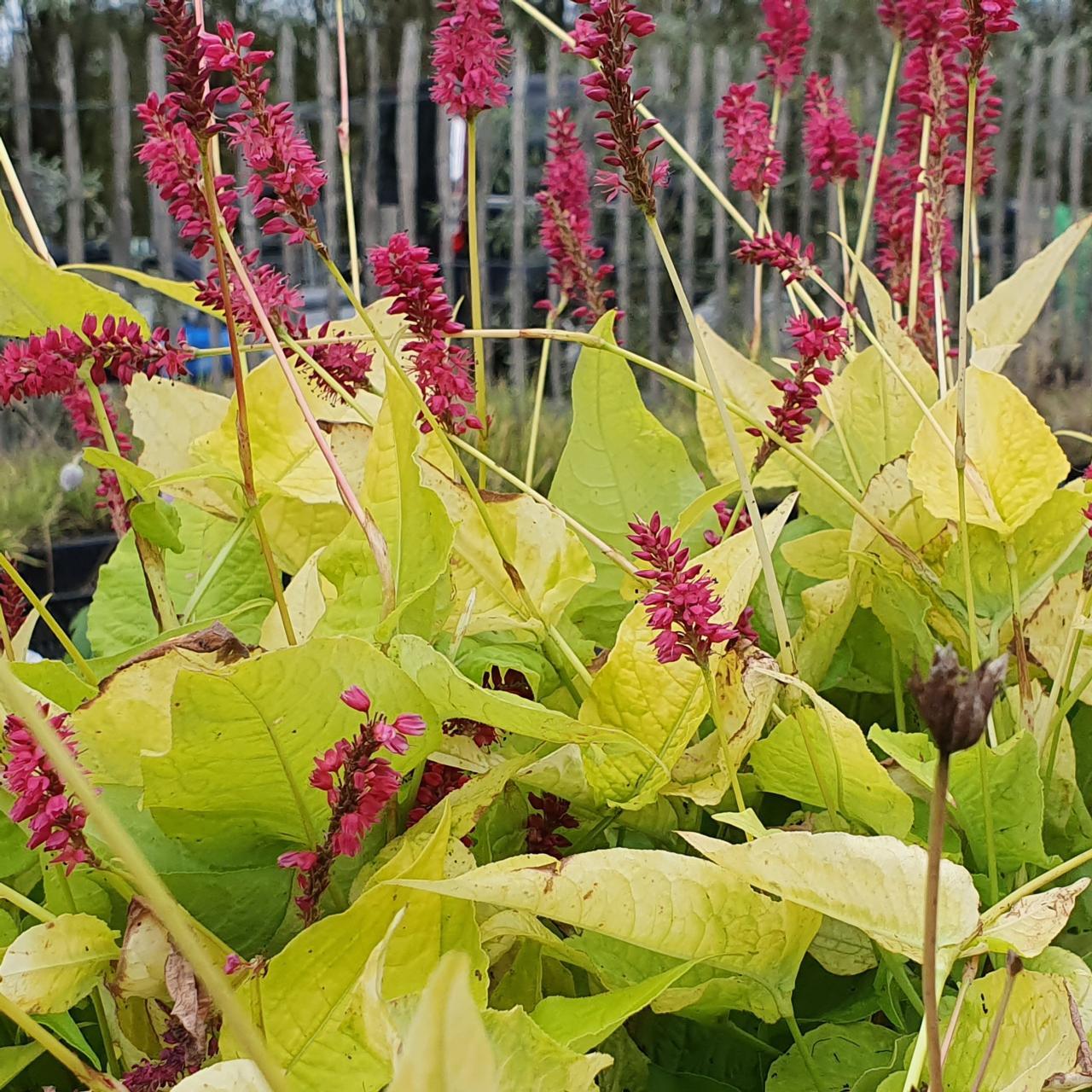 Persicaria amplexicaulis 'Golden Arrow' plant