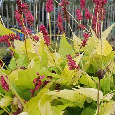 persicaria-amplexicaulis-golden-arrow