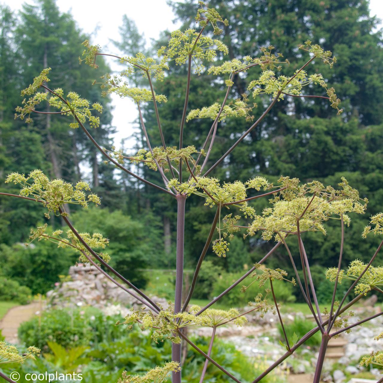 Peucedanum verticillare plant