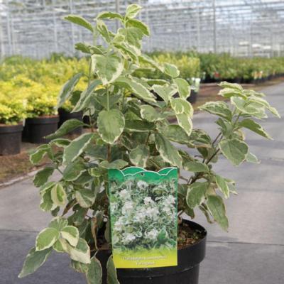 philadelphus-coron-variegatus