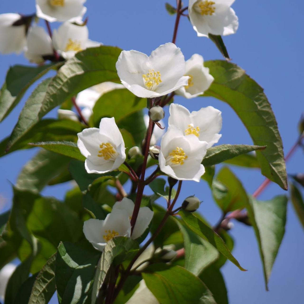 Philadelphus 'Starbright' (35525)