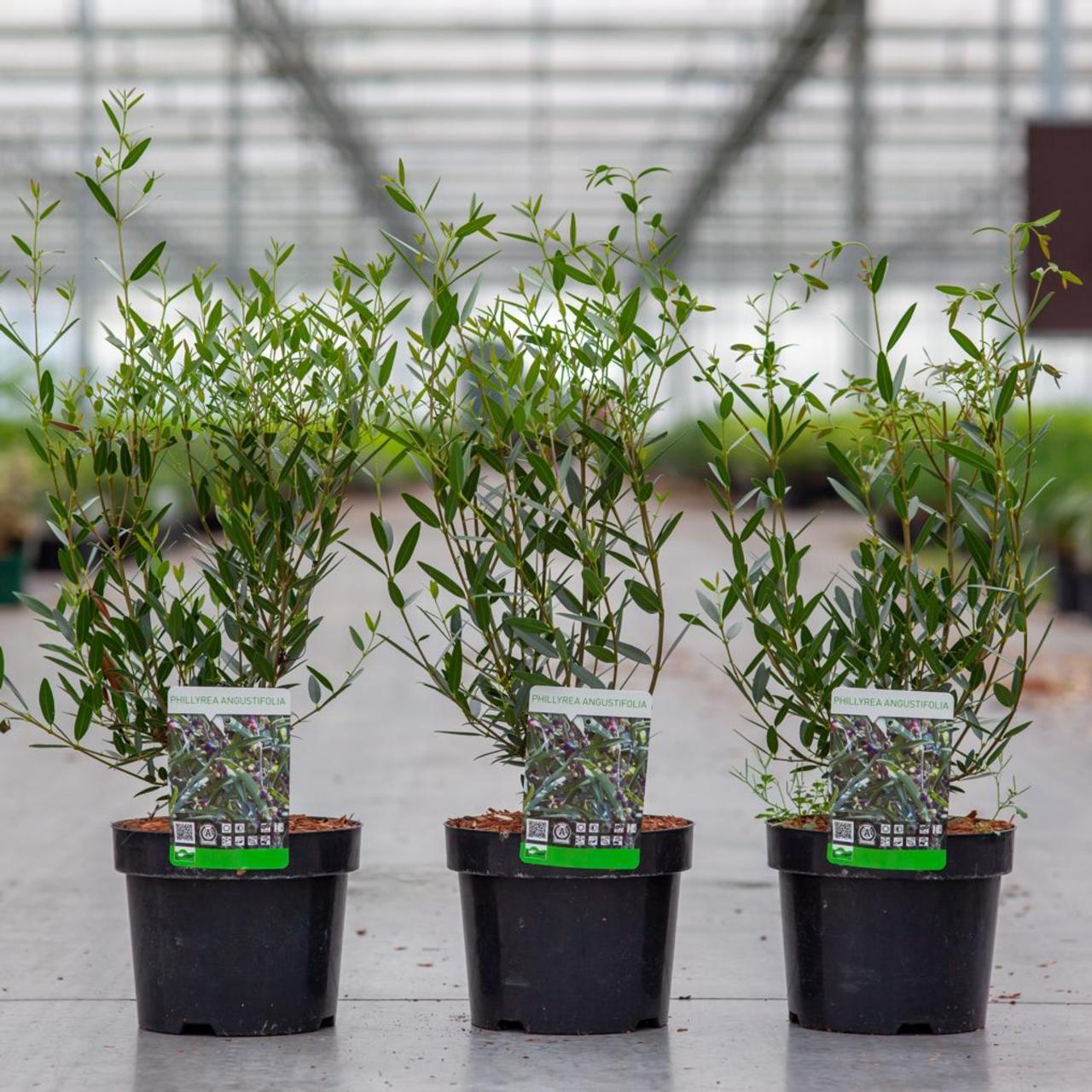 Phillyrea angustifolia plant