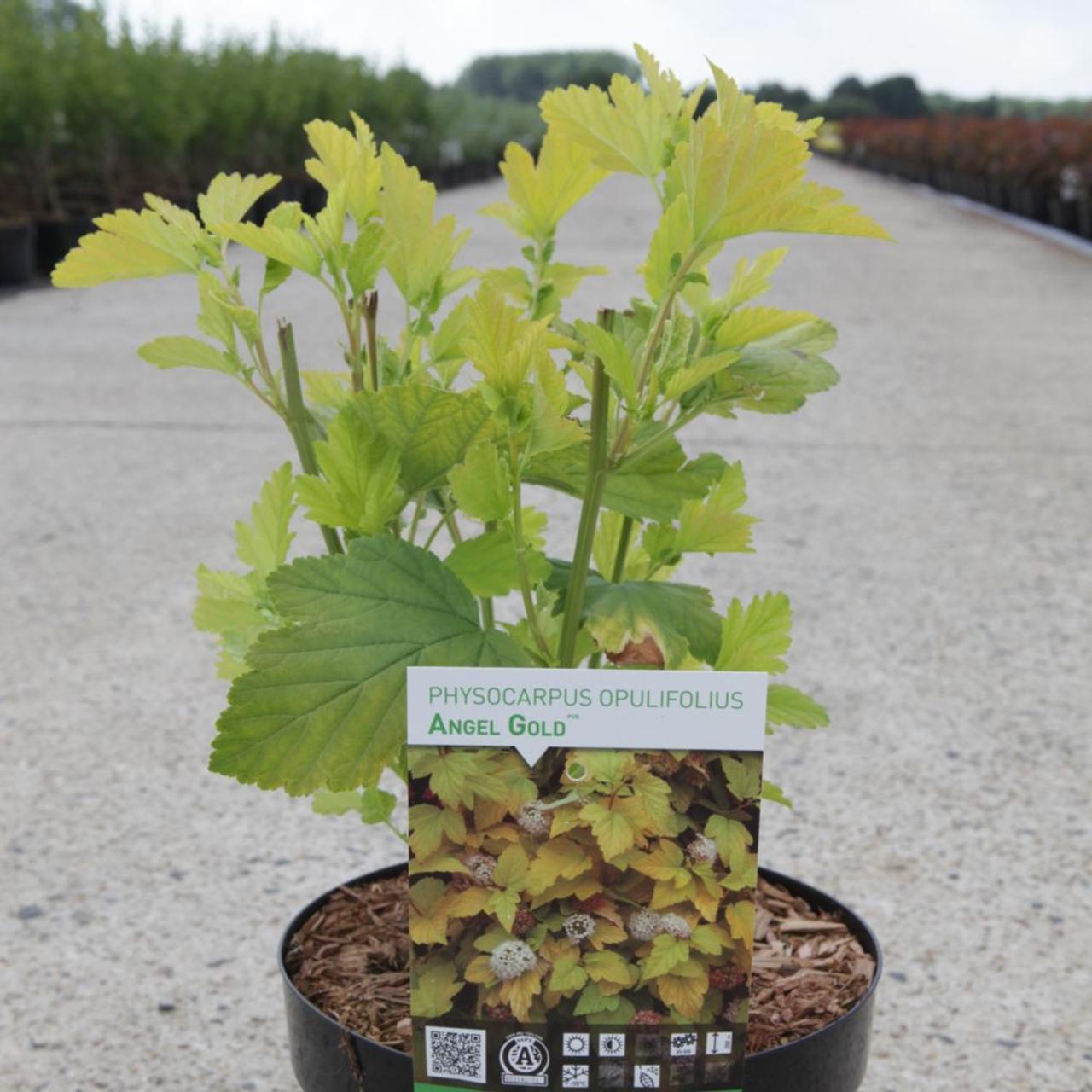 Physocarpus opulifolius 'Angel Gold' (35530)