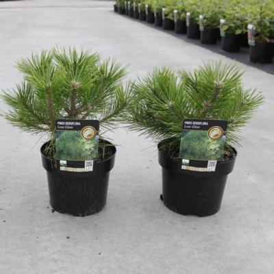pinus-densiflora-low-glow