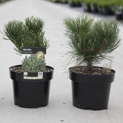 pinus-nigra-oregon-green