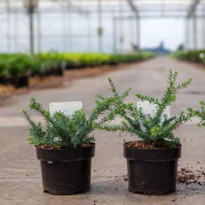podocarpus-alpinus-blue-gem