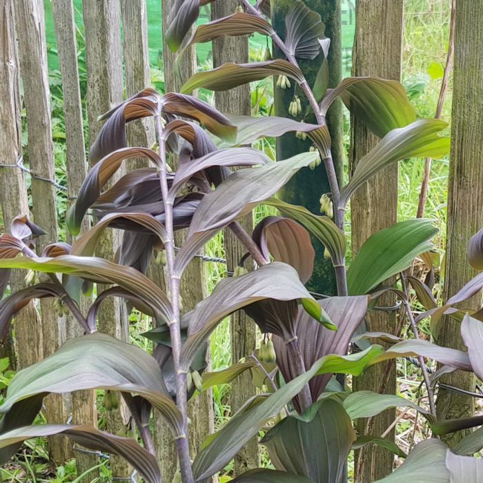 Polygonatum x hybridum 'Betberg' plant