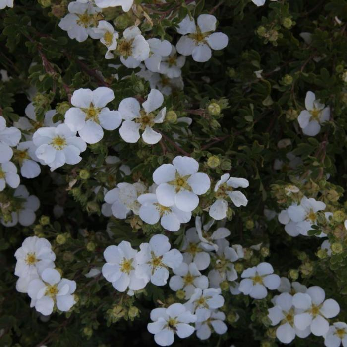 Potentilla fruticosa 'White Lady' plant