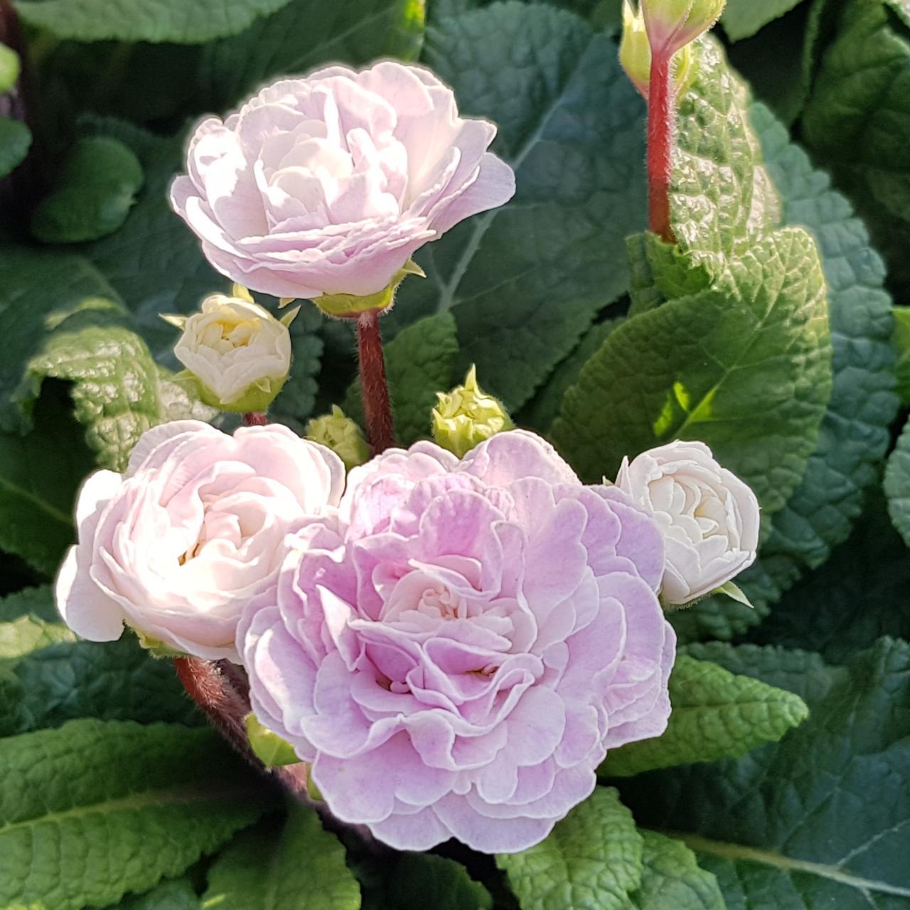 Primula veris dubbel paars (34385)
