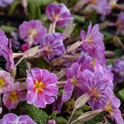 primula-vulgaris-avondale