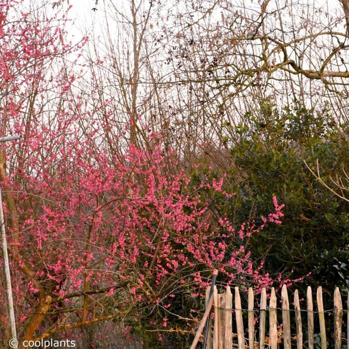 Prunus mume 'Beni-shi-dori' plant