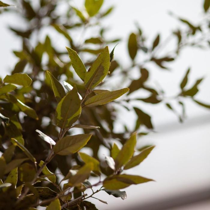 Quercus ilex plant