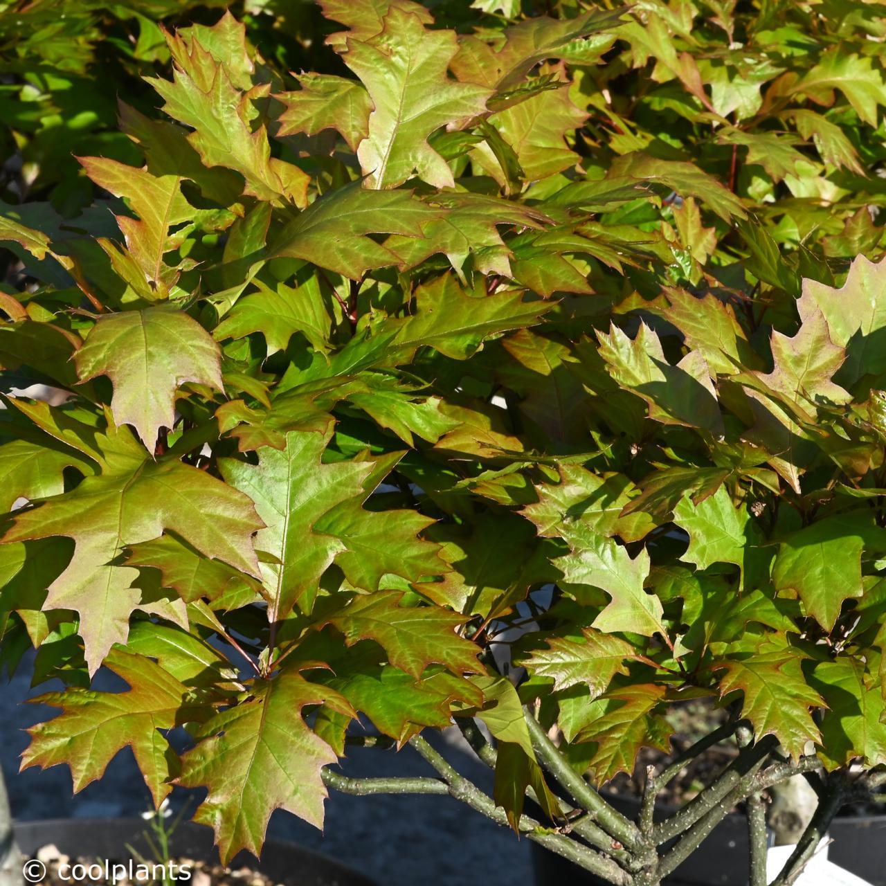 Quercus palustris 'Green Dwarf' plant