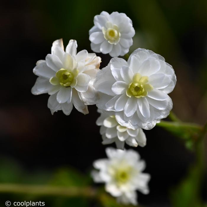 Ranunculus aconitifolius 'Flore Pleno' plant