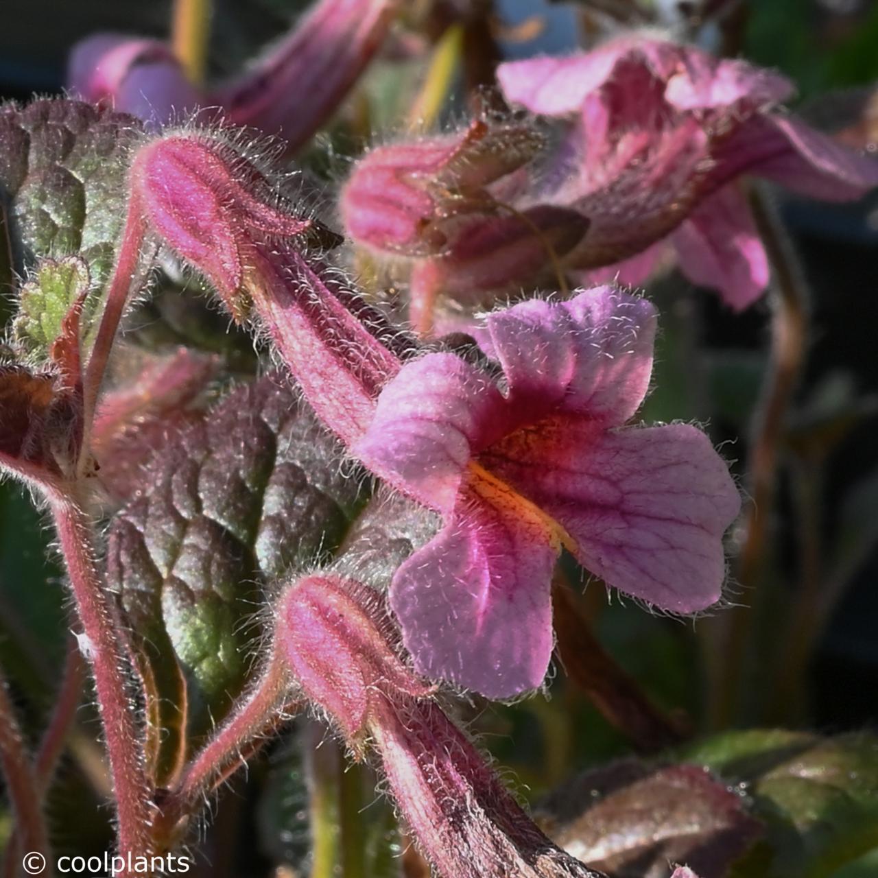 Rehmannia henryi plant