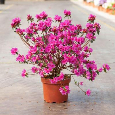 rhododendron-aj-amoena