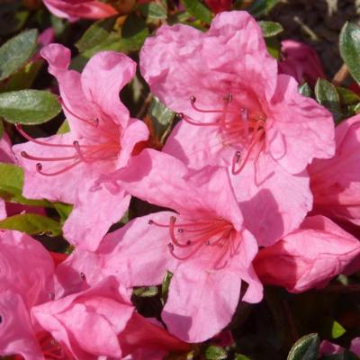 rhododendron-aj-mad-van-hecke