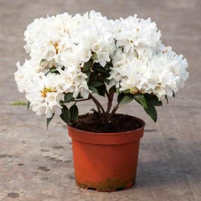 rhododendron-dora-amateis