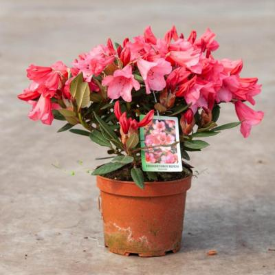 rhododendron-t-winsome