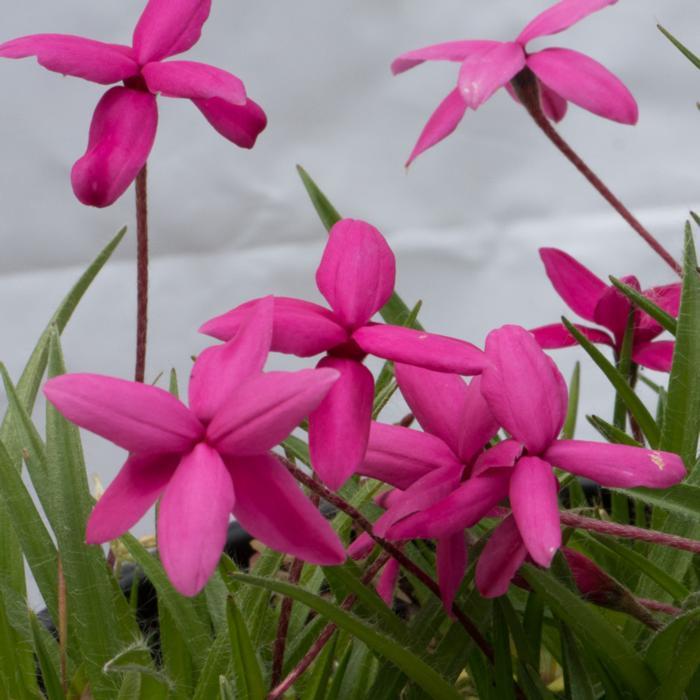 Rhodohypoxis baurii var. baurrii plant