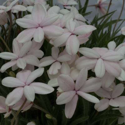 rhodohypoxis-dawn