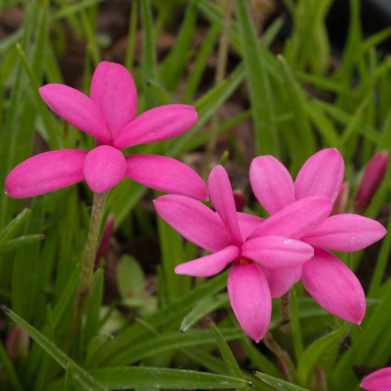 Rhodohypoxis deflexa plant