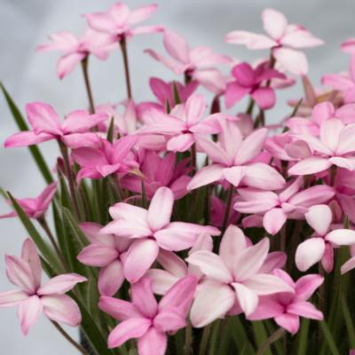rhodohypoxis-fred-broome
