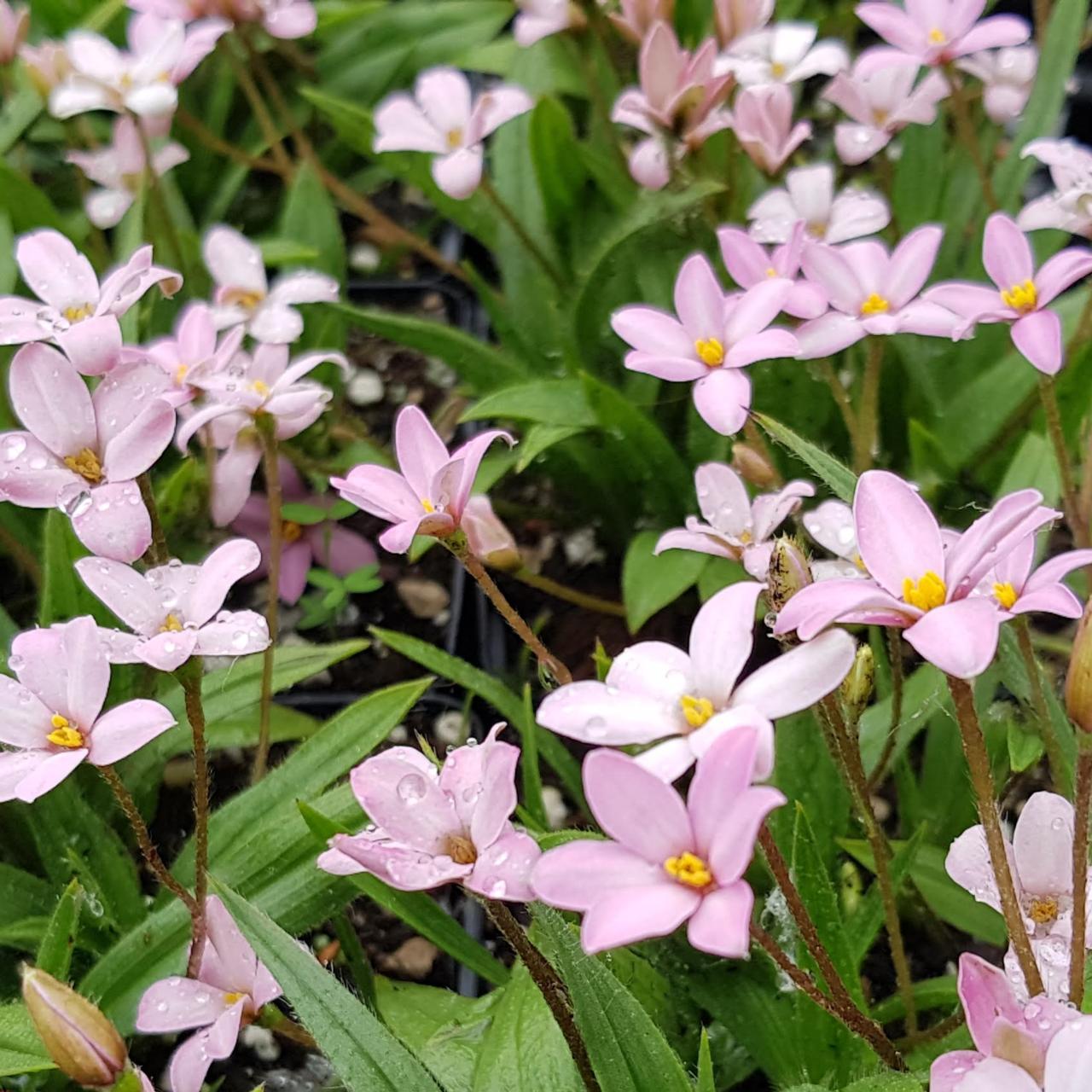 Rhodohypoxis 'Little Pink Pet' (34513)