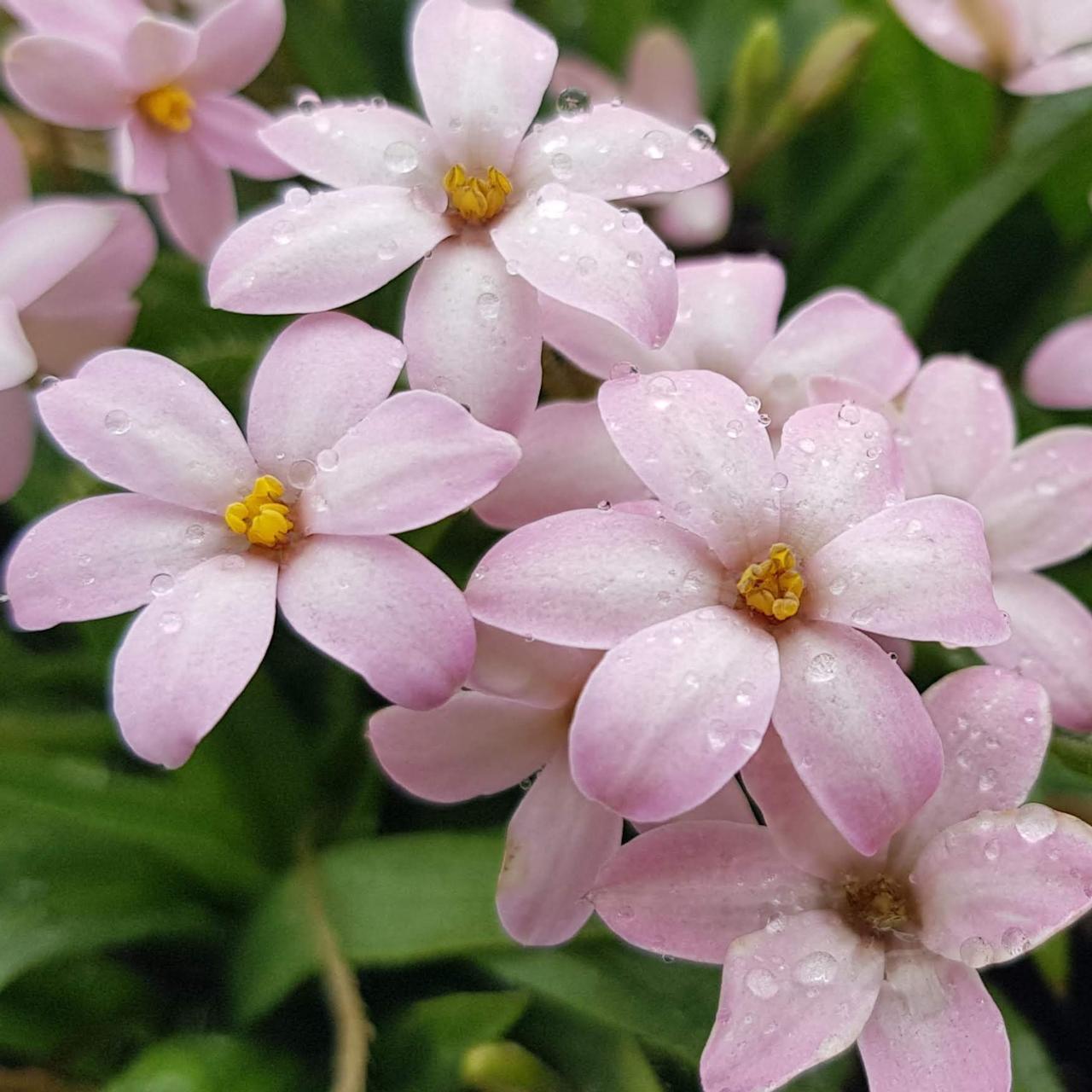 Rhodohypoxis 'Little Pink Pet' plant