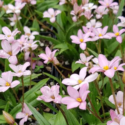 rhodohypoxis-little-pink-pet