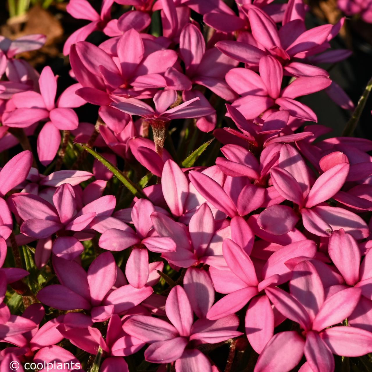 Rhodohypoxis 'Paula' plant