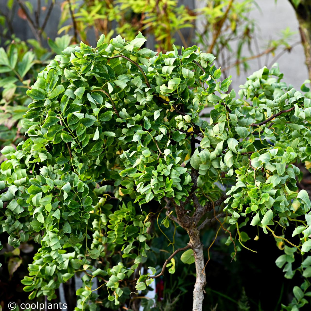 Robinia pseudoacacia 'Twisty Baby' plant