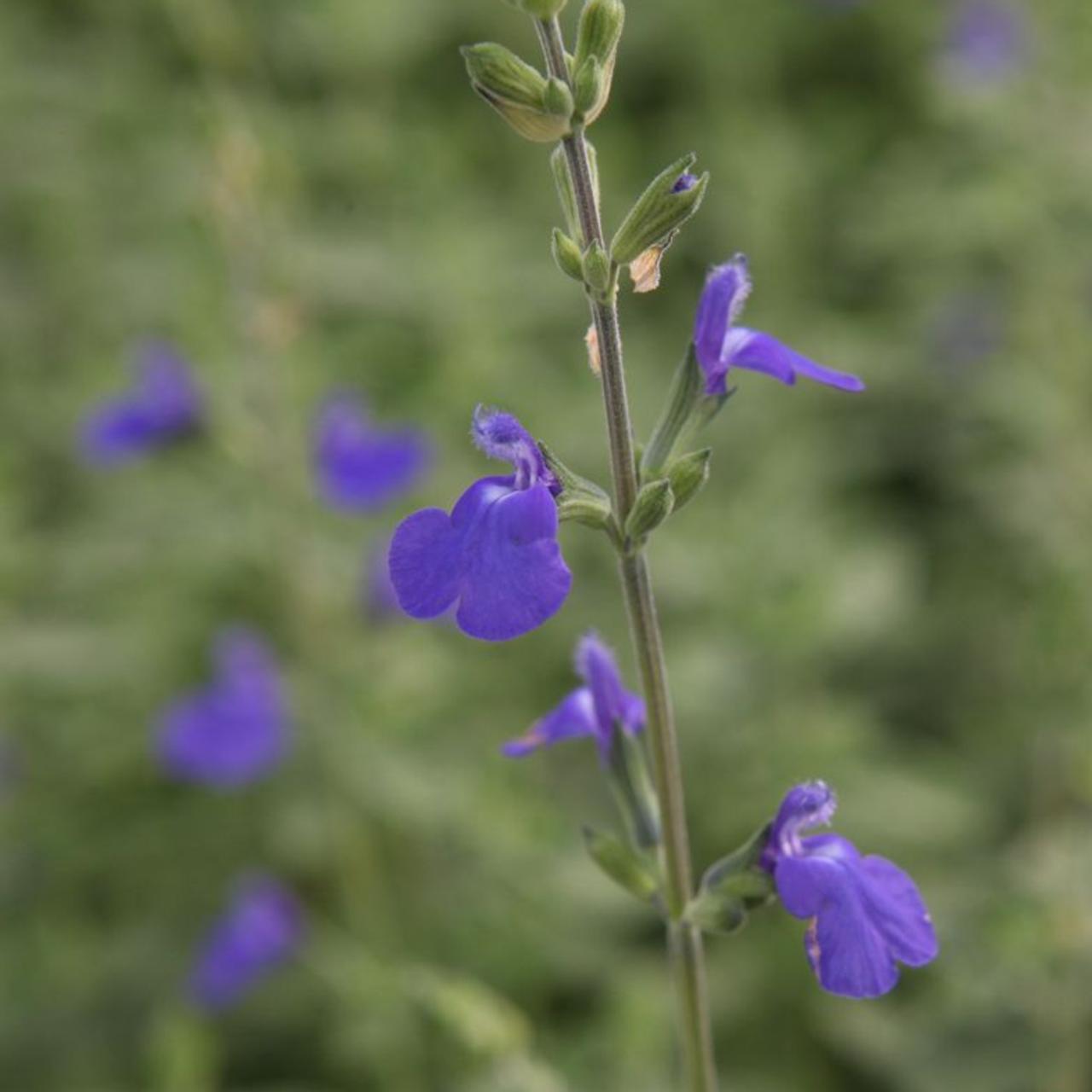 Salvia microphylla 'Blue Monrovia' plant