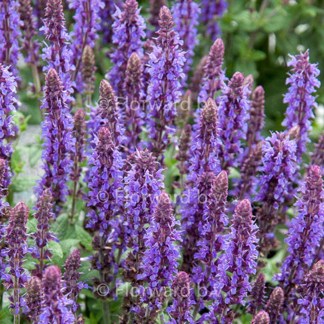 Salvia nemorosa 'Sensation Deep Blue' plant