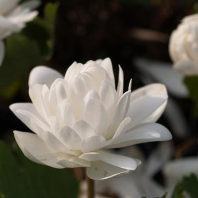 sanguinaria-canadensis-multiplex