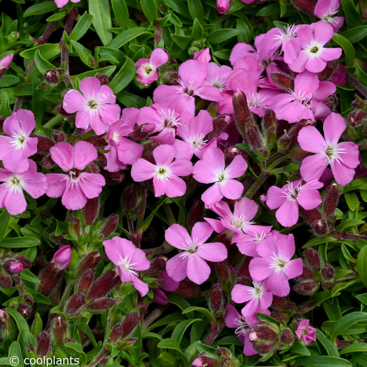 Saponaria 'Bressingham' plant