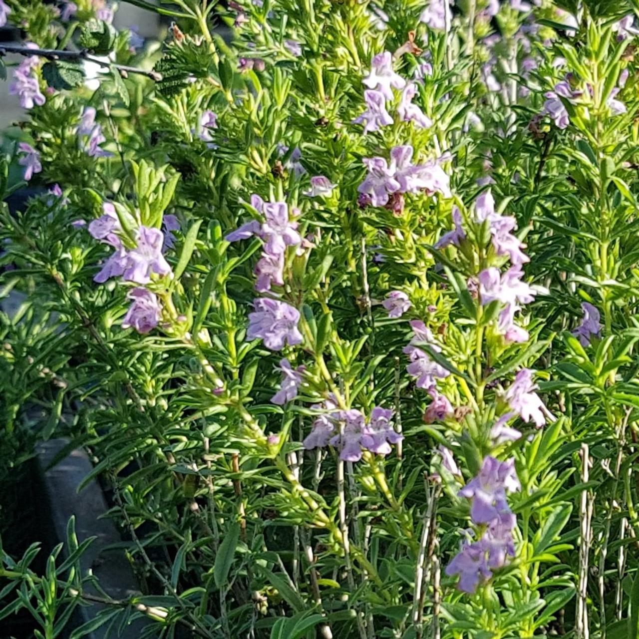 Satureja montana ssp. illyrica plant