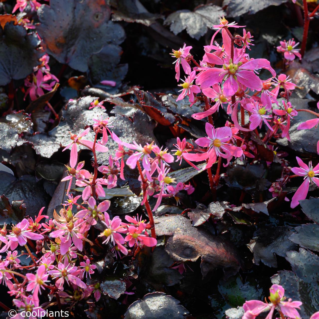 Saxifraga fortunei 'Black Ruby' (30648)
