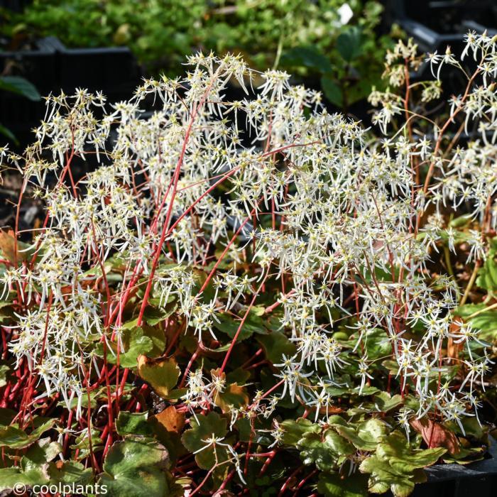 Saxifraga fortunei 'Wada' plant