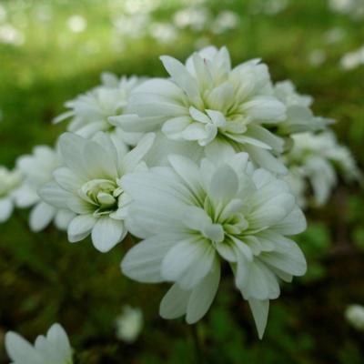 saxifraga-granulata-flore-pleno