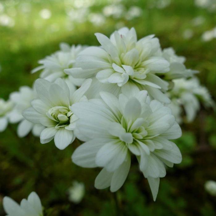Saxifraga granulata 'Flore Pleno' plant